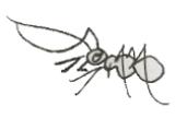 c Ant